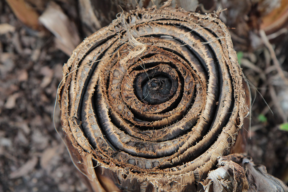 cross section of old banana tree stalk