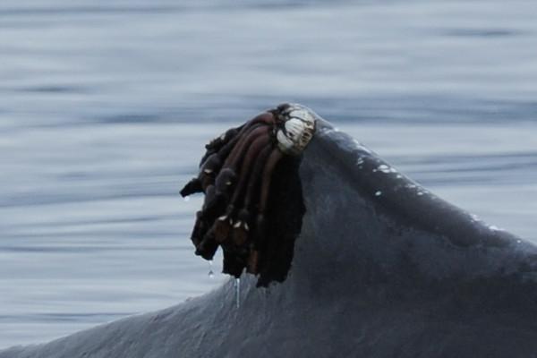 Goose neck barnacles - close