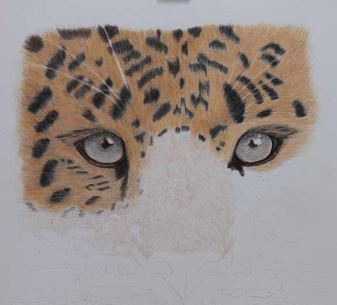 Coloured Pencil-Amur Leopard-WIP