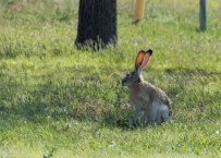 Look at those huge ears on that jackrabbit!