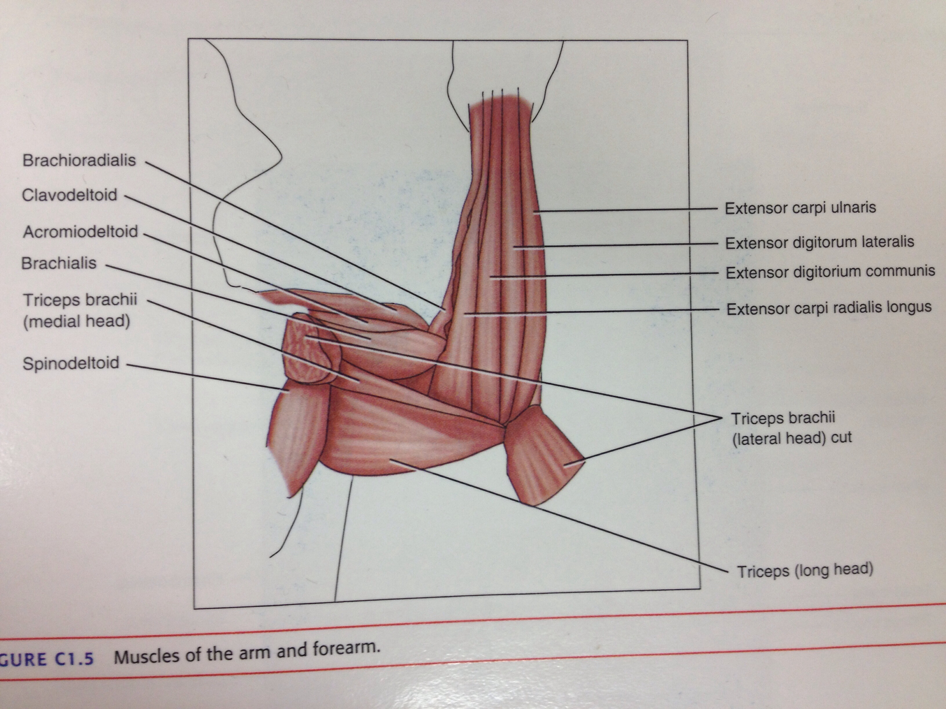 Muscles Of The Forearm And Arm Back And Shoulder