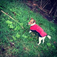 Jack Russell Charlie in the rain coat