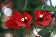 Crazy Flower of Jericho :)