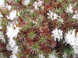 Cool plants Mt wellington. Tasmania.