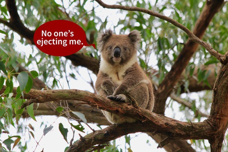 Were Koalas, like this one sitting on a gum tree, and other animals from  other continents returned home via teleportation?