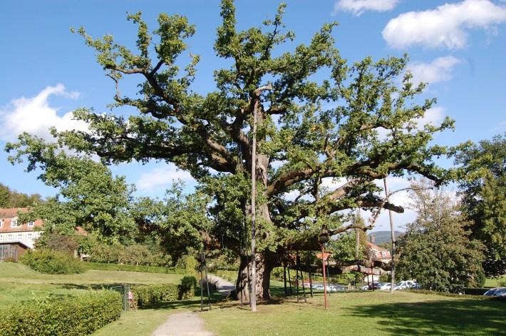 Baumpflege und Baumsanierung der König-Ludwig-Eiche