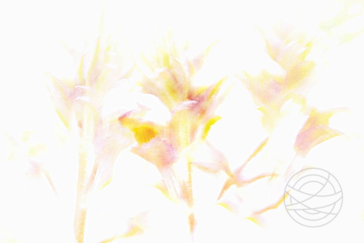 Untouchable - Withering flowers awaken, leaning against the pale white morning light. Untouchable, like a dream high in the sky. - Impressionistic fine art nature photography by Jacob Berghoef