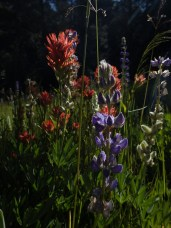 Lupinus and Castelleja at the west end of Little Valley, Northern Sierra