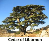 Cedar of Libornon