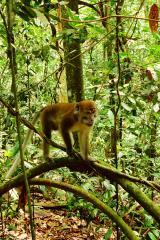 les macaques arrivent.. voila le chef