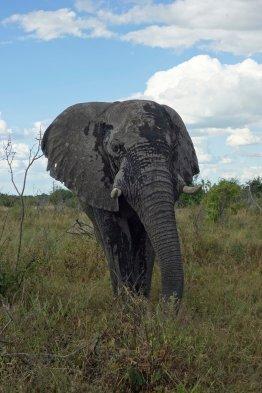 Elephant quite close
