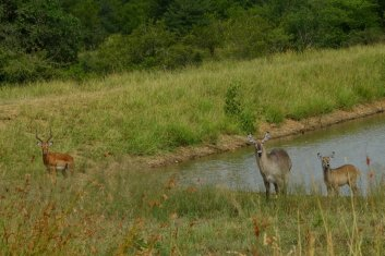 Not all the same did you notice, on the left an impala on the right a female Kudu and its little