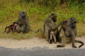 On the road to Lower Sabie we meet a group of monkey preparing for the day