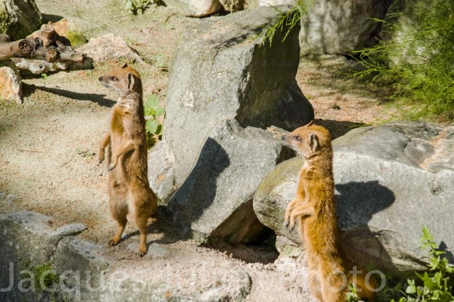 Two Yellow Mongooses