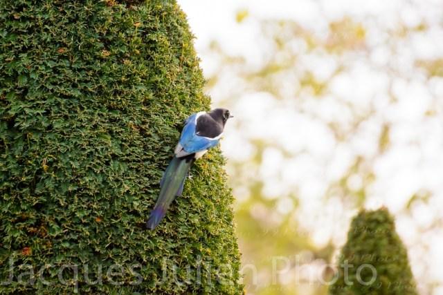 Oiseau bleu (pie) perchée