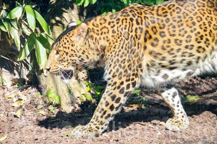 wild big cat Photography