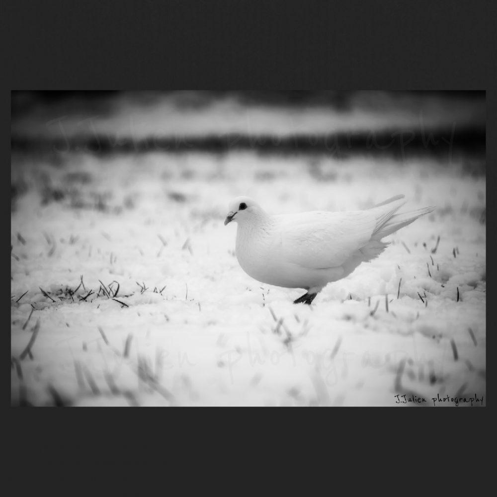 oiseau blanc en hiver Jacques Julien photographe