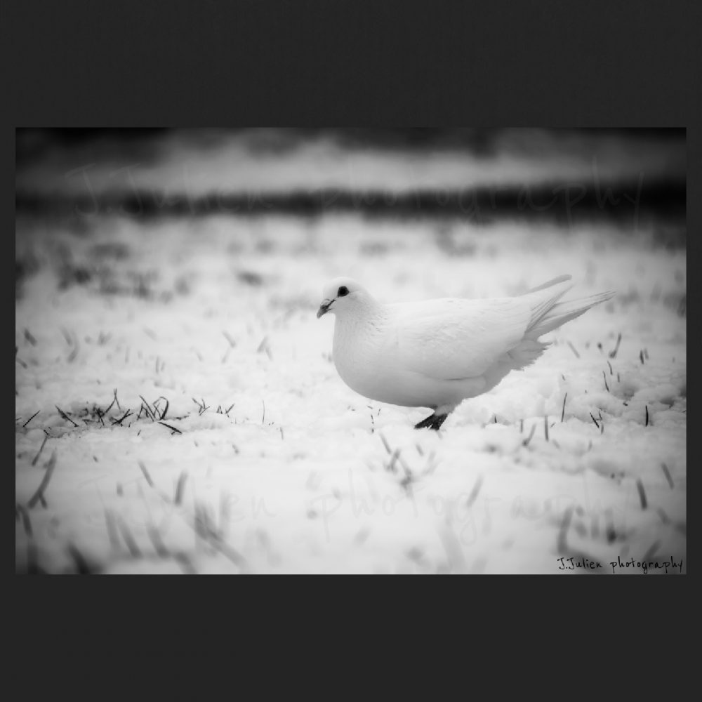 White Bird pigeon in snow Jacques Julien