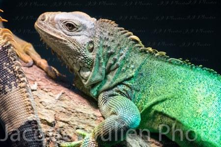 Iguane vert – Photo libre de droits