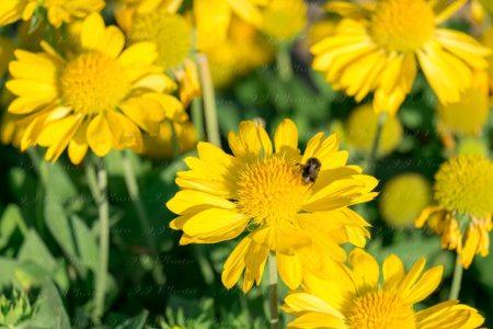 Bee on yellow flower – Stock Photo