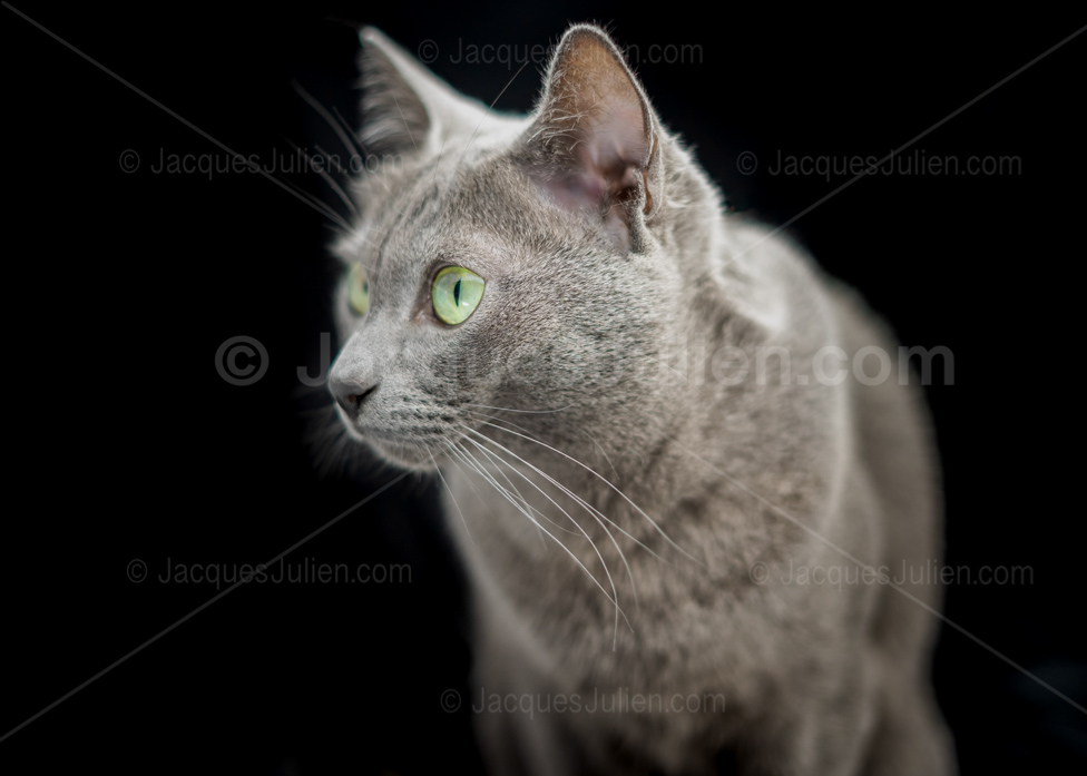 cute purebred grey kitten on black background