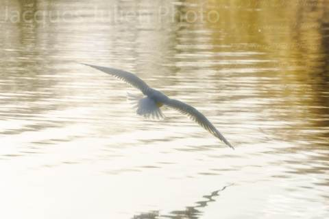 Gull flying on a lake – Stock Photo