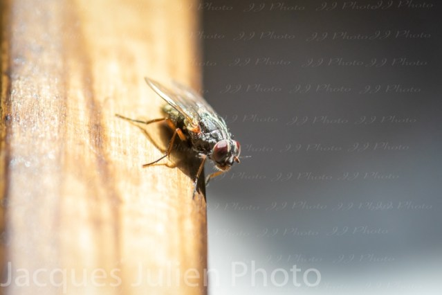 Mouche Sarcophage – Macro Photo