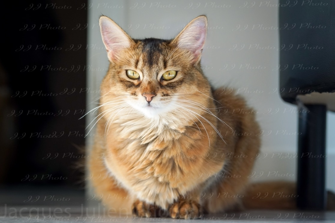 Photographie de chat orange