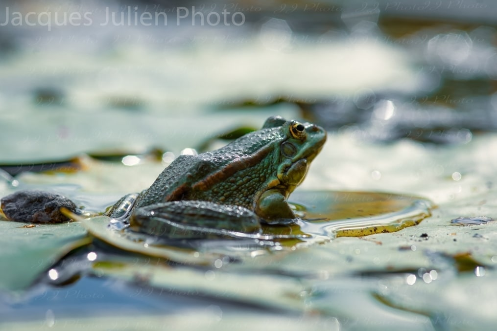 toad in a swamp on water lily