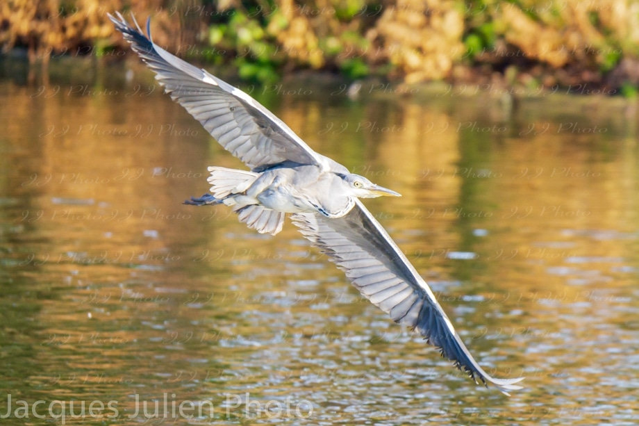 Big bird grey heron flying photography