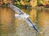 heron fly stock photo  - Home
