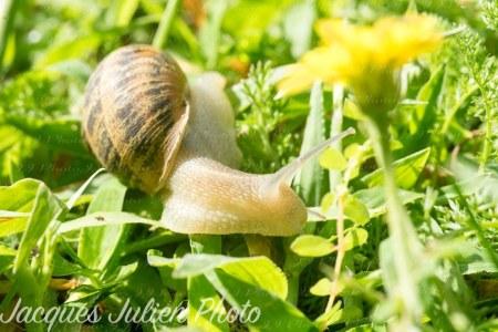 Side view of a Cornu aspersum (land snail)