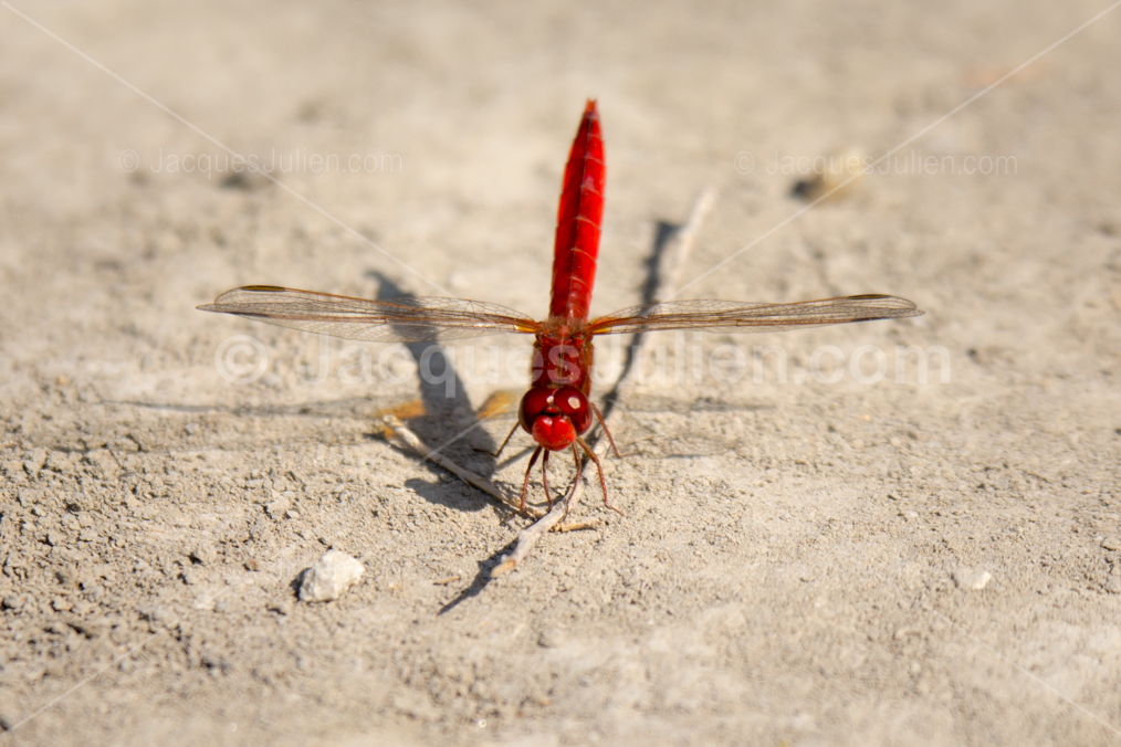 red insect image
