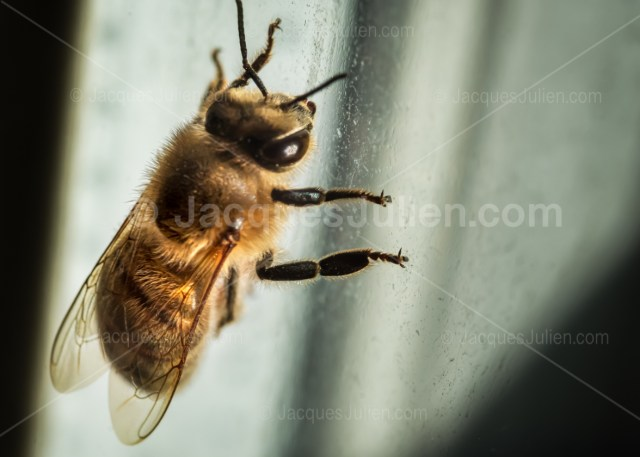 Macro photo ou gros plan d'une abeille