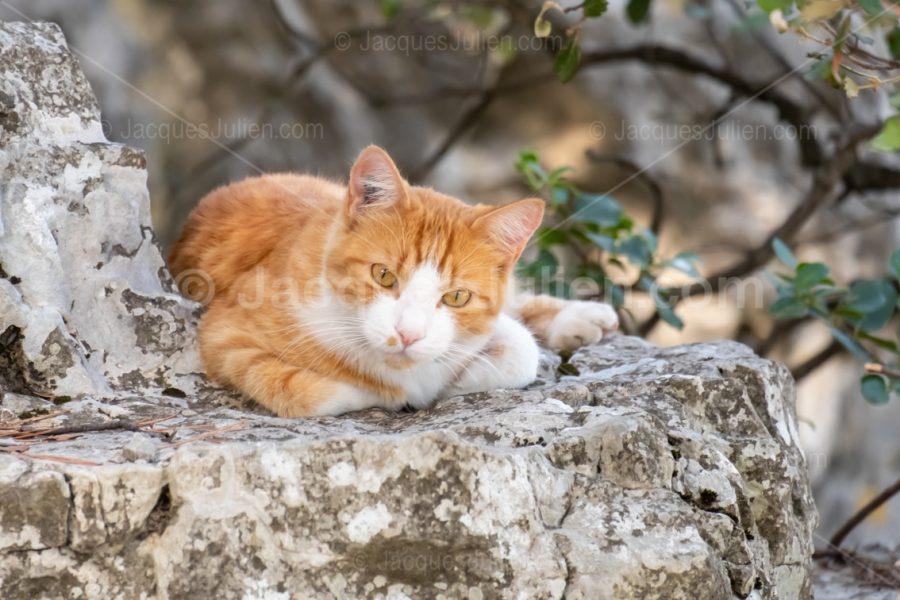 félin orange sur un rocher