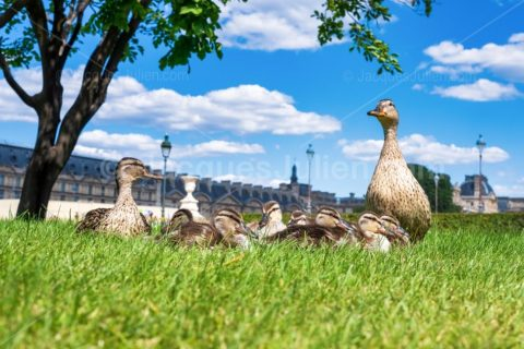 Duck family in the Tuileries Garden during the confinement – Stock Photo