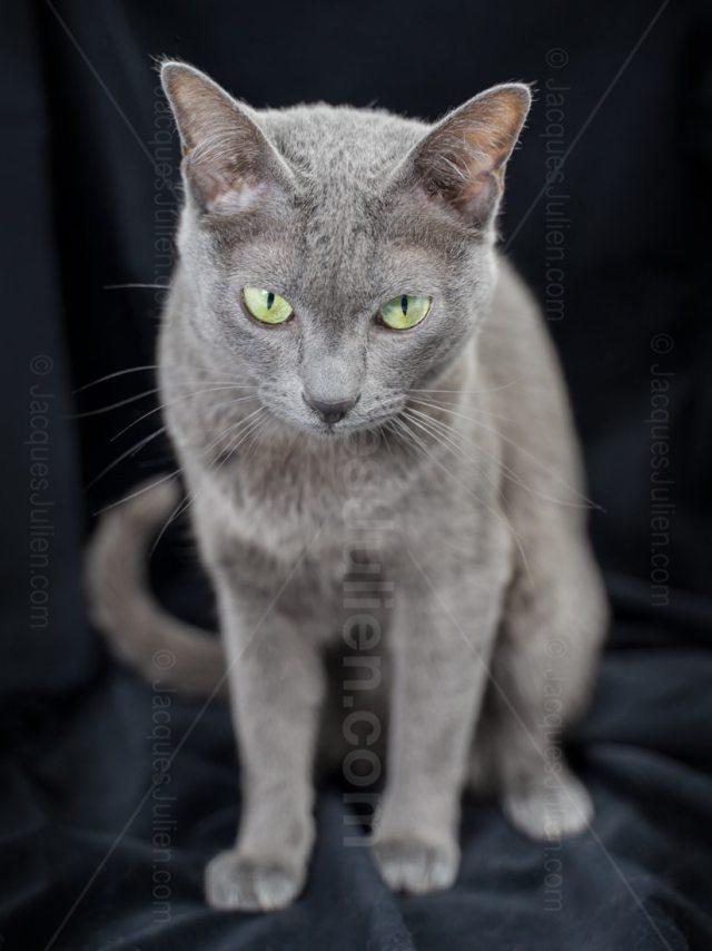 Chat gris sur fond noir