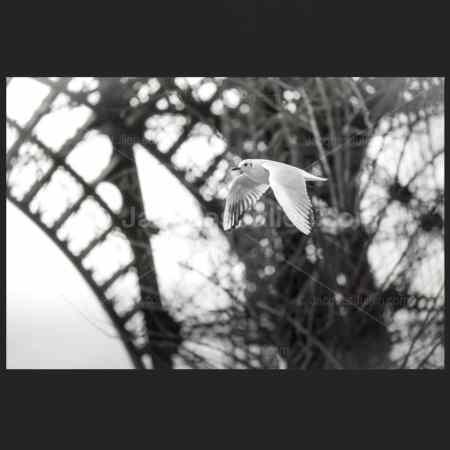 Gull in flight under Eiffel tower – Photo Print