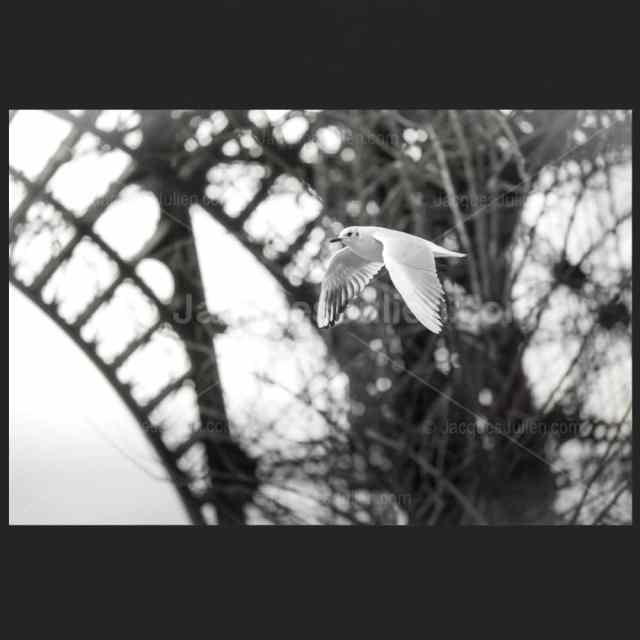 Mouette volant sous la Tour Eiffel – Tirage fine art