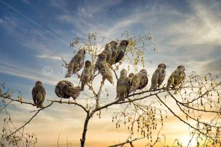Group of starlings on a tree