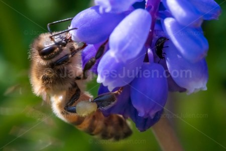 Honey Bee – Macro photography