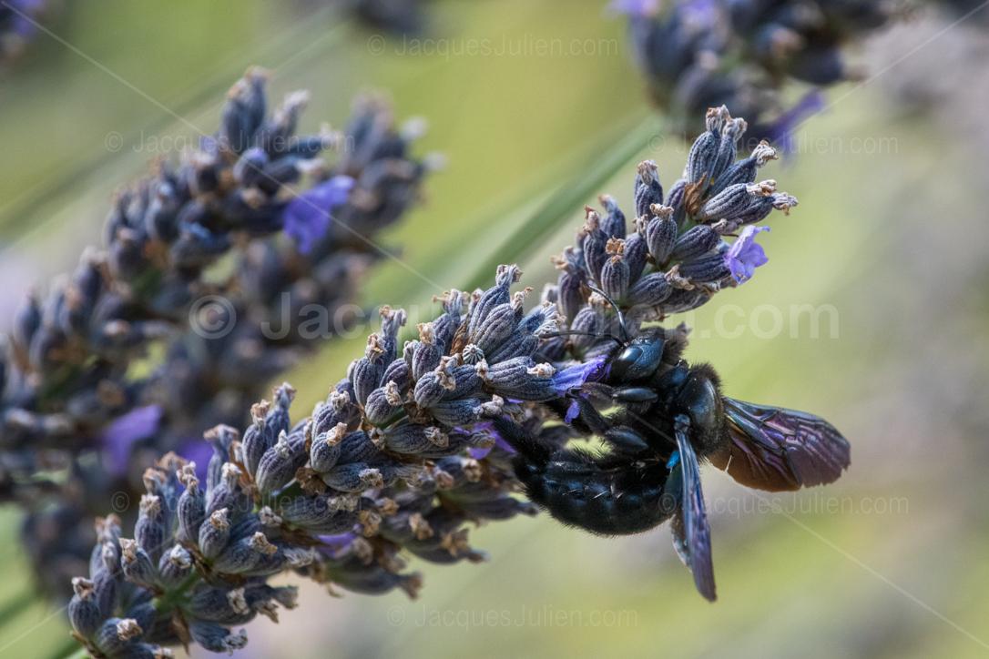 grosse abeille rare insecte volant