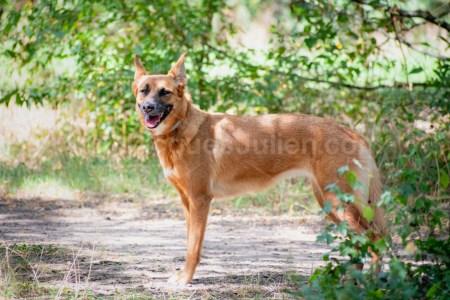 chien malinois berger belge