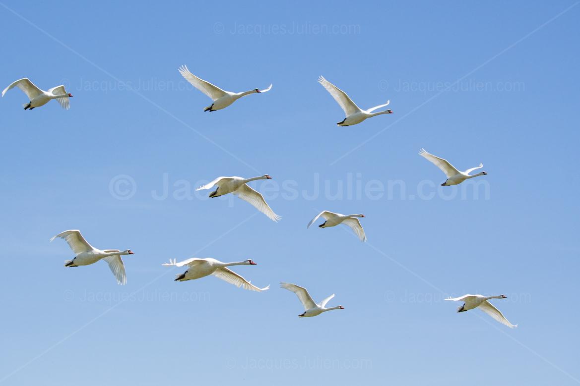 photographie de cygnes blancs qui volent