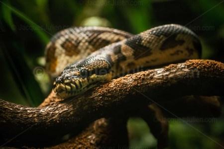 Carpet Python – Morelia spilota