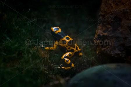 grenouille vénéneuse