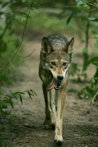 Gregory's Wolf or Red Wolf has been reintroducing into North Carolina and surrounding areas.