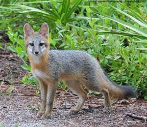 Grey fox. Both grey and red foxes are much smaller than coyotes. (Public photo.)