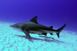 "Adult bull shark swimming. (Public photo for ""wallpaper."" )"