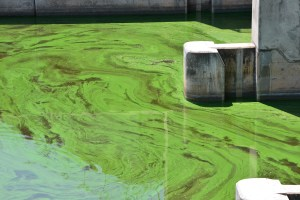 August 24, 2014 photograph of blue-green algae bloom east of S-308, Lake Okeechobee/C-44 Canal area/ (Photo courtesy of Paul Shindel.